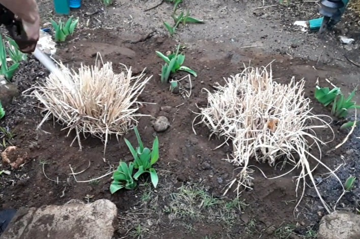 place the ornamental grass in its new location